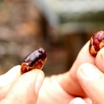 A Forastero (left) and Criollo cocoa bean