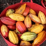 A bucket full of cocoa pods