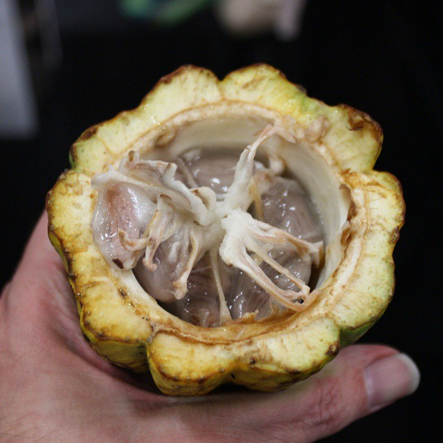 Spent the afternoon eating pulp straight from a fresh cocoa pod. Delicious!