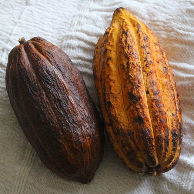 I've been drying one of my cocoa pods but the other is also fading fast now! #grenadacocoa