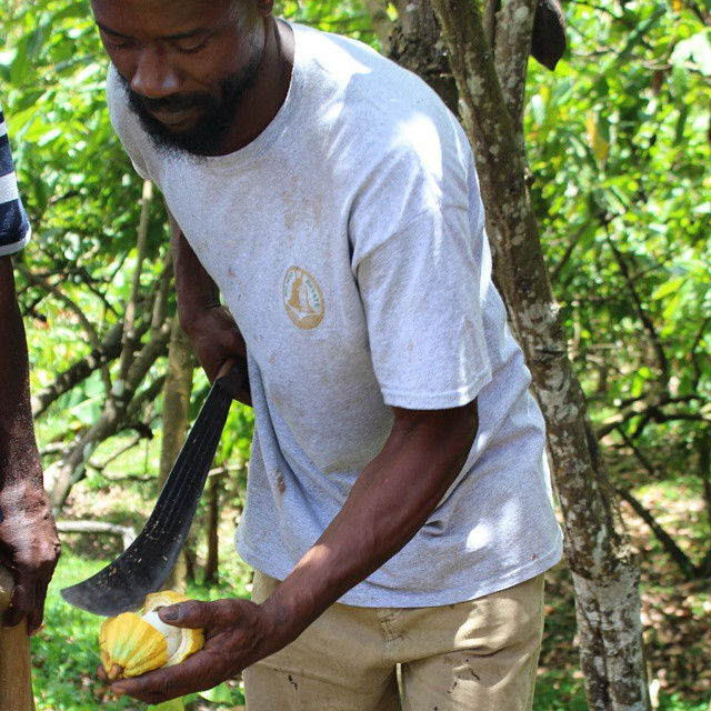 Cutting open a pod the traditional way with a cutlass at @@belmontestates #grenadacocoa #grenada #cacao